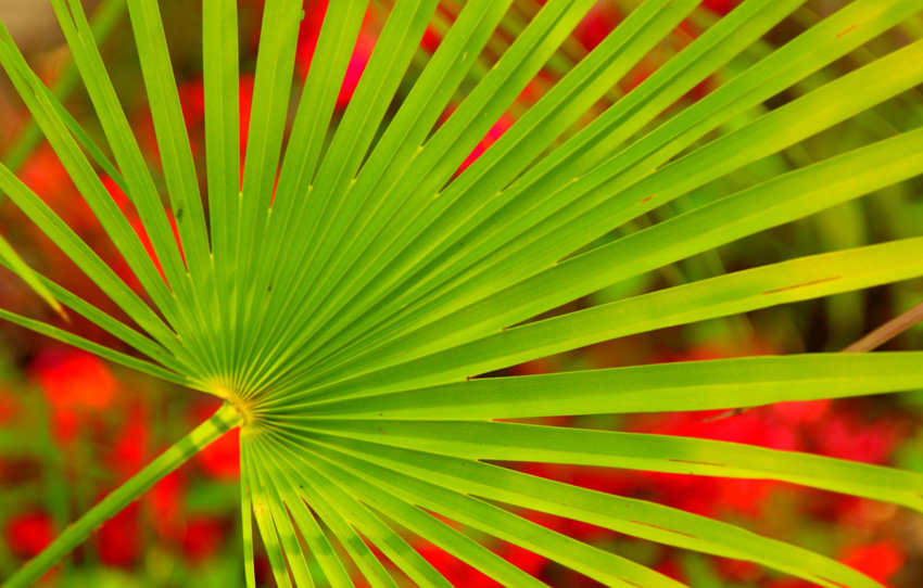 palm leaf photo by NCDunham